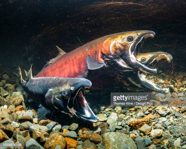 Coho Salmon, also known as Silver Salmon (Oncorhynchus kisutch) in the act of spawning in Sheridan River (Copper River Delta) tributary stream during autumn