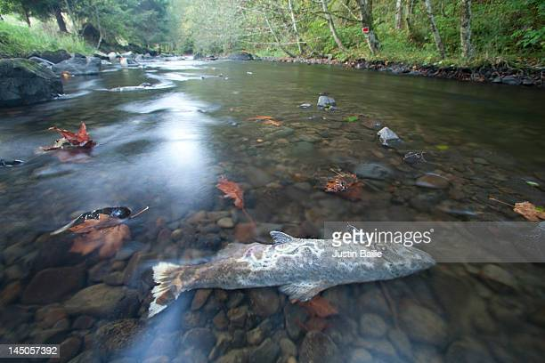 Coho salmon carcass in small coastal Oregon River.