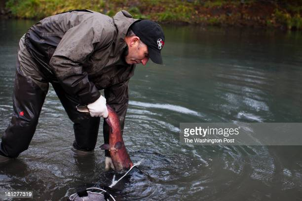 A coho salmon is tagged and measured by Mike McHenry the Fisheries Habitat Manager and the Lower Elwha Klallam Tribe hatchery at a Washington state...