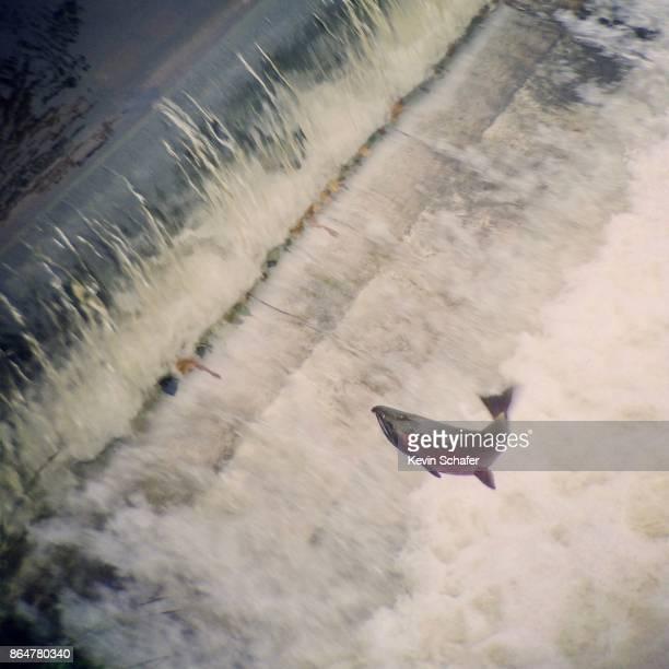 Coho salmon jumping waterfall, Washington