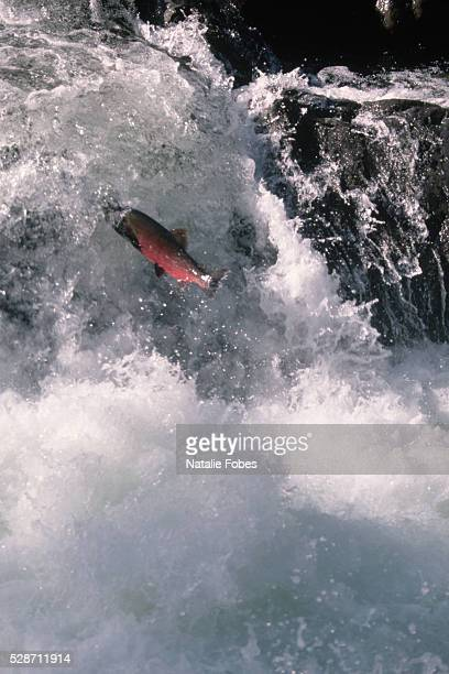 Coho Salmon Leaps a Sol Duc River Waterfall