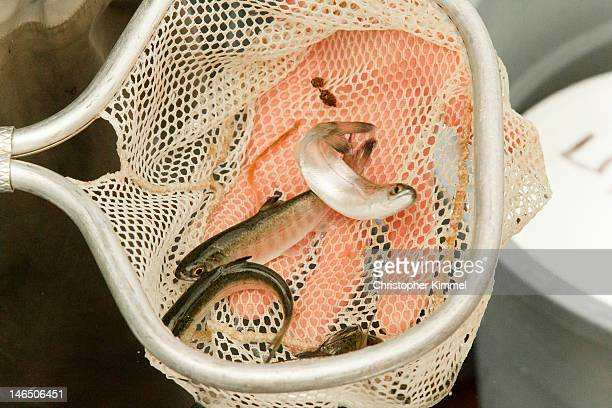 Coho Smolts in net