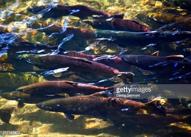 Coho, Sockeye, and Chinook Salmon in Issaquah Creek, Washington State, USA