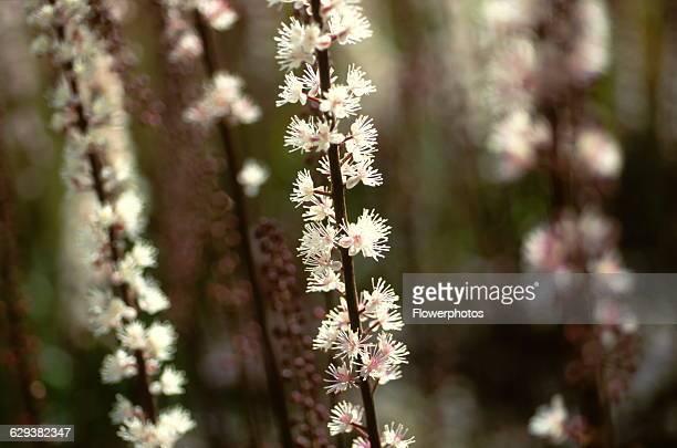 Cohosh / Bugbane Cimicifuga simplex 'Brunette'