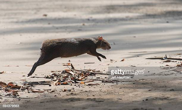 A common agouti runs across a sandy beach on Coiba Island, a UNESCO world heritage site in Panama.