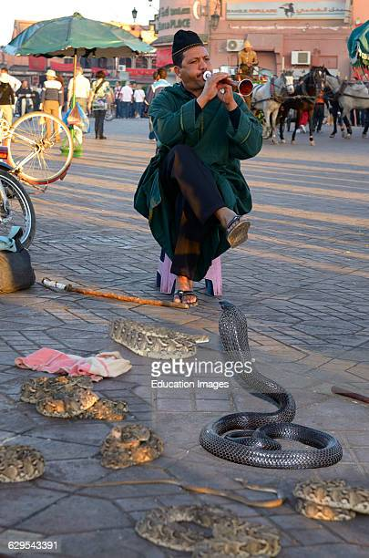 Coiled black cobra and other snakes being charmed by a flute in Place Djemaa el Fna Marrakech
