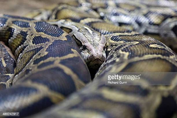 coiled burmese python - burmese python stock pictures, royalty-free photos & images