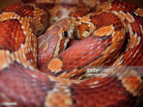 coiled corn snake portrait - corn snake stock pictures, royalty-free photos & images
