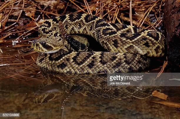 coiled eastern diamondback rattlesnake - eastern diamondback rattlesnake stock pictures, royalty-free photos & images