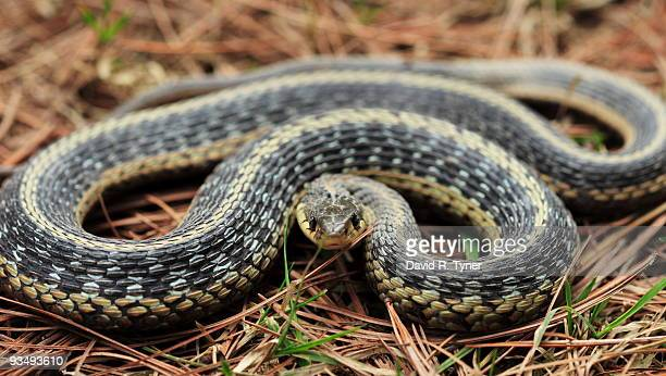 a coiled garter snake on pine needles - garter snake stock pictures, royalty-free photos & images