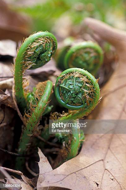 coiled up leaves of fern fiddleheads - ed reschke photography stock pictures, royalty-free photos & images