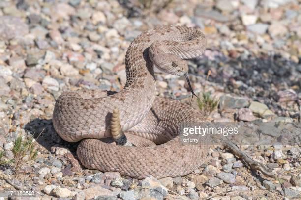 coiled western diamondback rattlesnake, arizona - diamondback rattlesnake stock pictures, royalty-free photos & images