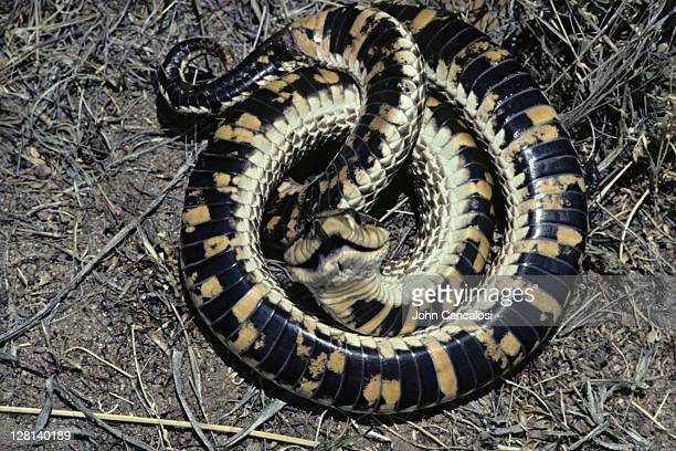 coiled western hognose snake, heterodon nasicus, feigning death, gray ranch, new mexico, usa - hognose snake stock pictures, royalty-free photos & images