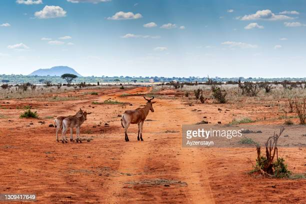 cokes hartebeest at tsavo east national park - east stock pictures, royalty-free photos & images