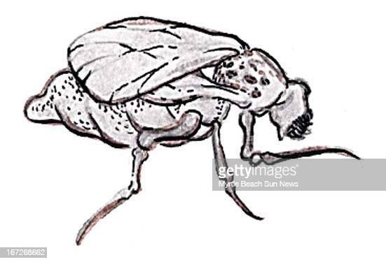 Col x 1.25 in / 47x32 mm / 160x108 pixels Jason Whitley color illustration of a no-see-um -- a species of fly notorious for its annoying bite.