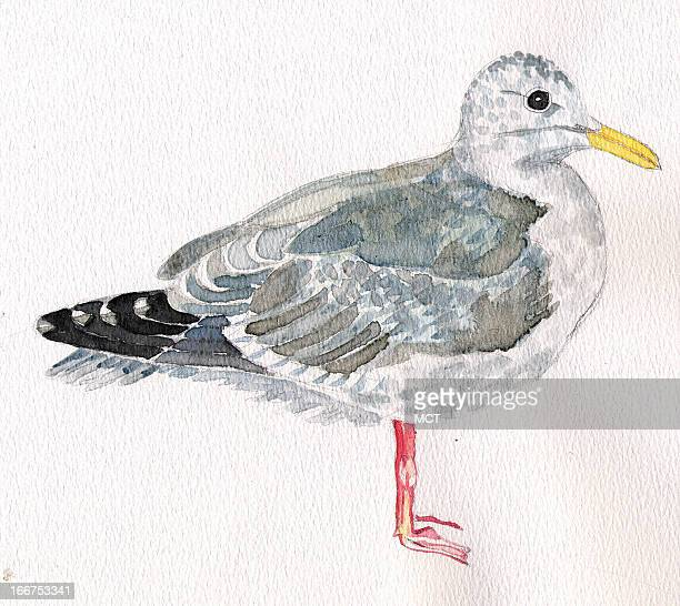 3 col x 51 in / 146x130 mm / 497x441 pixels Eeli Polli illustration of a kittiwake