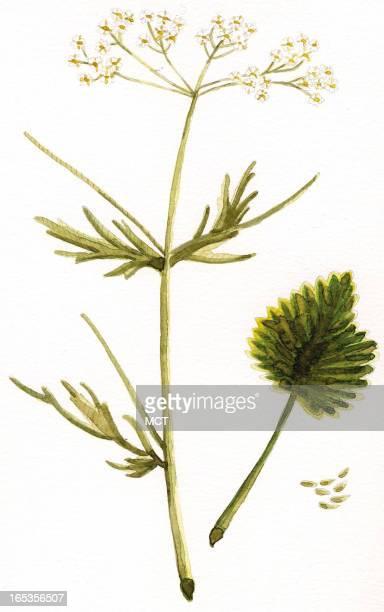 2 col x 6 in / 96x152 mm / 327x518 pixels EeliEthel Polli illustration of anise plant