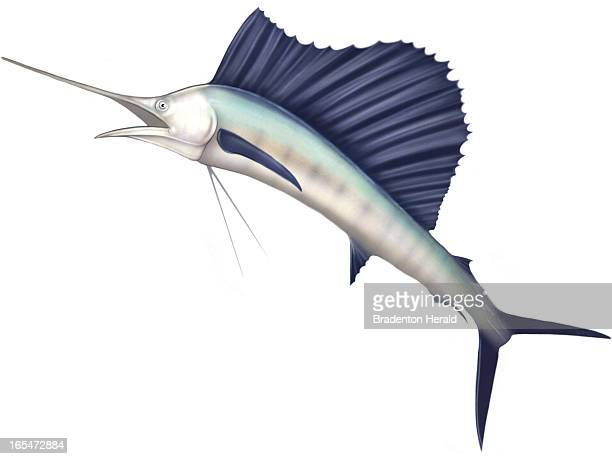 5 col x 725 in / 246x184 mm / 837x626 pixels Ron Borresen color illustration of a sailfish