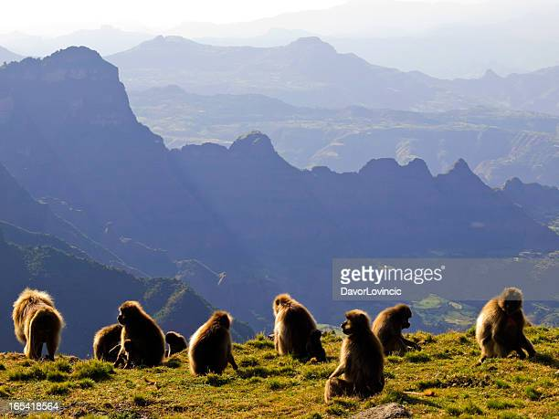 geladas - ethiopia stock photos and pictures