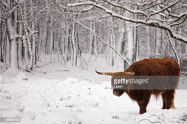 Cold red hairy cow in snow