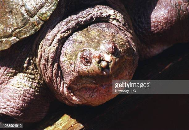 Junior the algaecovered common snapping turtle with a formidable size of 75 pounds and 20incheslong and an estimated age of 82 is shown at the Cold...
