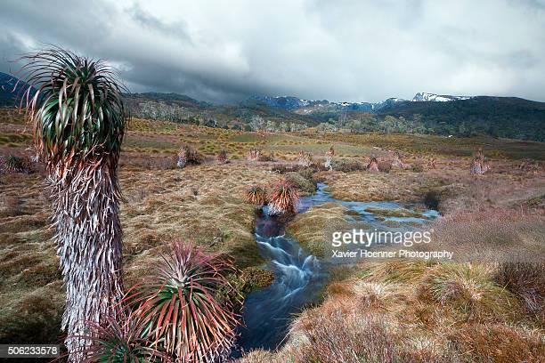 Cold stream flowing between Pandanus trees, Cradle Mountain, Tasmania