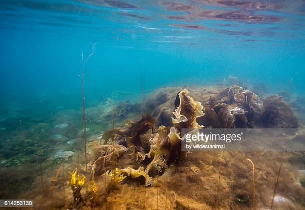 Cold Water Kelp