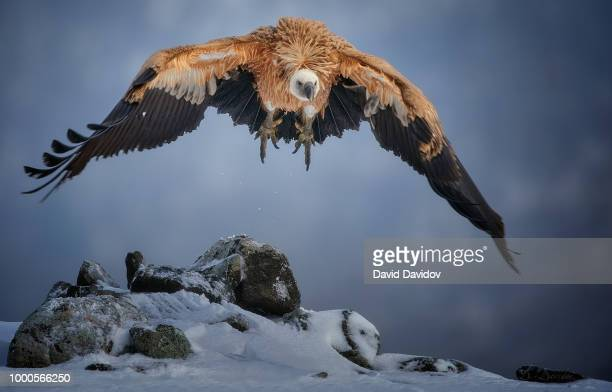 cold winter morning - bearded vulture stock pictures, royalty-free photos & images