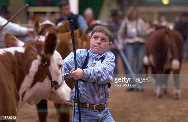 Cole Van Horn of Franklin Indiana drags a Poled Hereford breeding heifer through the arena during a judging at the National Western Stock Show...