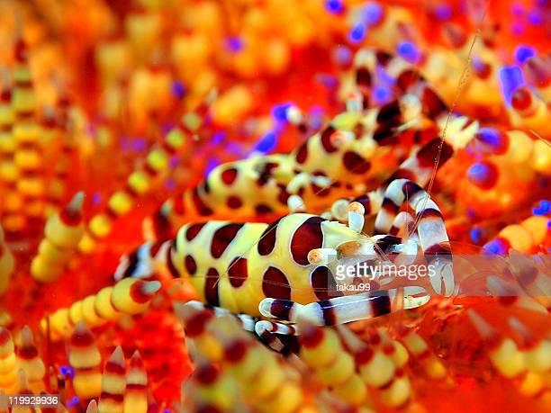 Coleman's shrimp