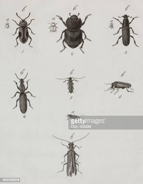 Coleoptera engraving by Filippo Imperato after a drawing by Antonio Siesto from Atti della Reale Accademia delle Scienze Sezione della Societa Reale...