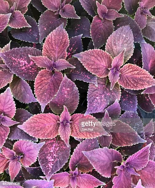 Coleus - Lamiaceae