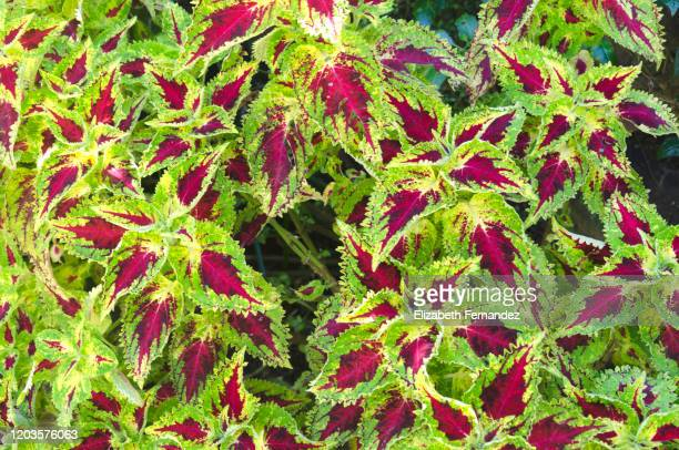Garden Coleus Stock Pictures Royalty Free Photos Images Getty
