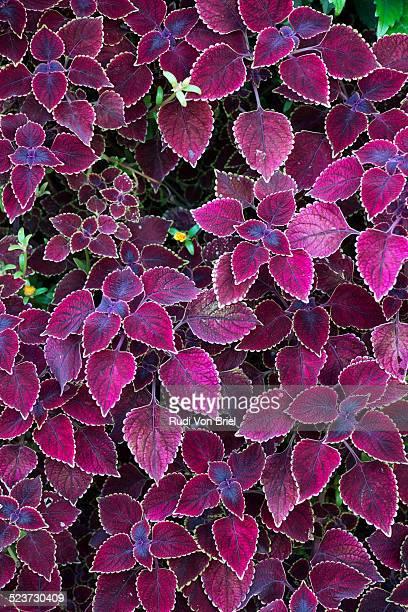 Coleus plant.