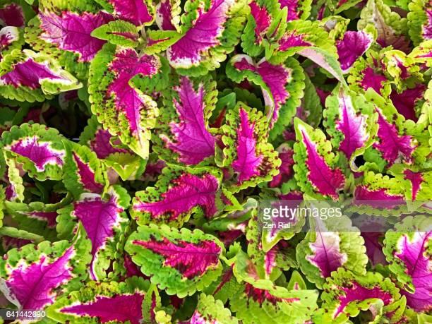 Coleus - Plectranthus scutellarioides - Painted Nettle - Lamiaceae