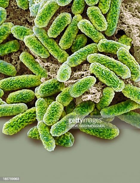 e coli bacteria, sem - e coli stock photos and pictures