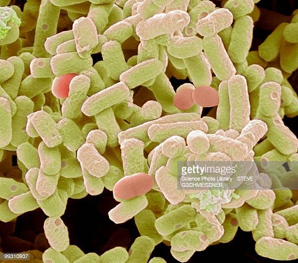 e. coli bacteria, sem - e coli stock photos and pictures