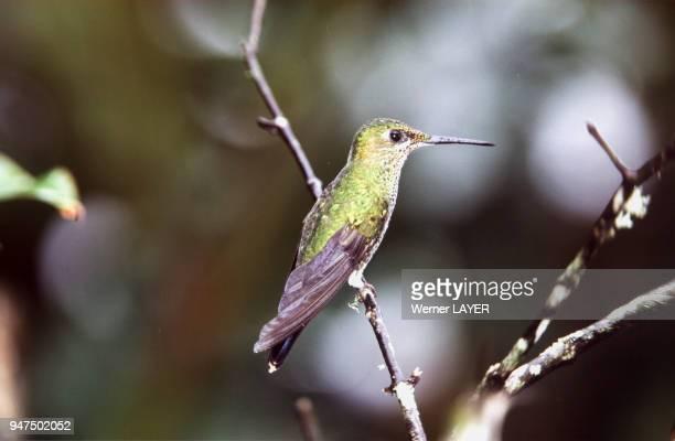 Colibri brillant ferdelance
