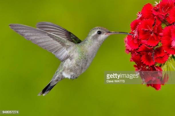 Colibri circé male se nourrissant du nectard des fleurs Arizona Usa