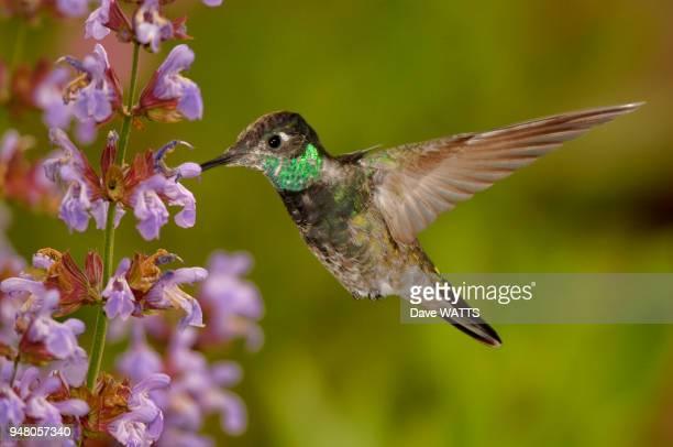 Colibri de Rivoli Juvénile s'alimentant de pollen de fleurs Arizona Usa