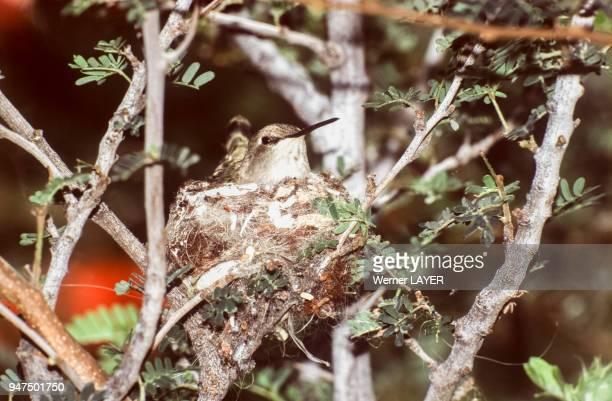 Colibri à gorge noire femelle