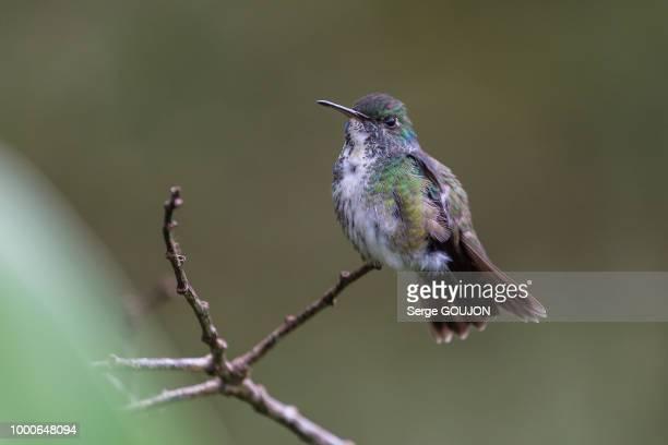 Colibri - Mata Atlantica