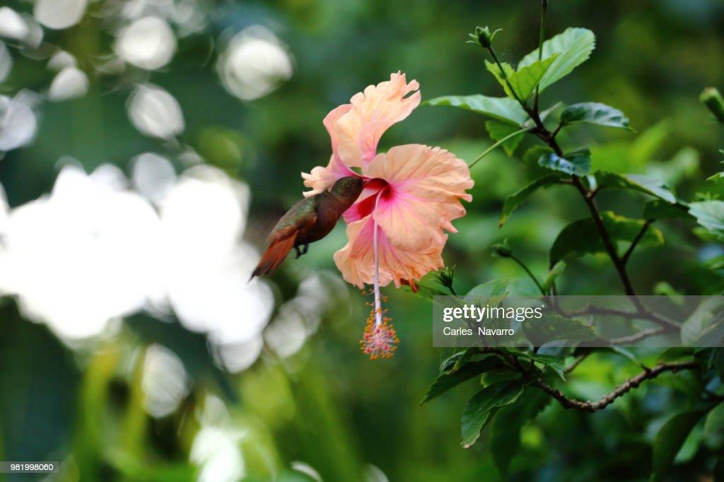 Colibri Stock Foto Getty Images