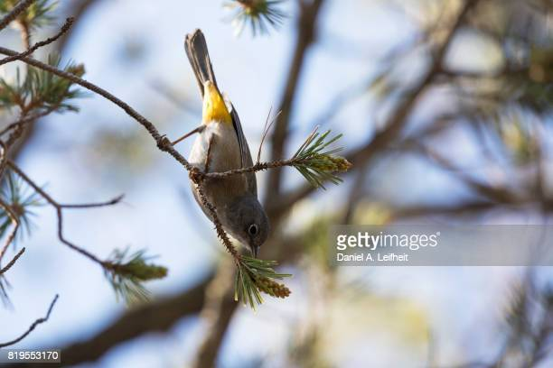 colima warbler bird - warbler stock pictures, royalty-free photos & images