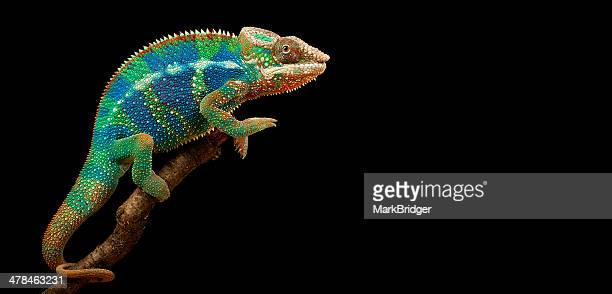 colin the chameleon - chameleon stock photos and pictures