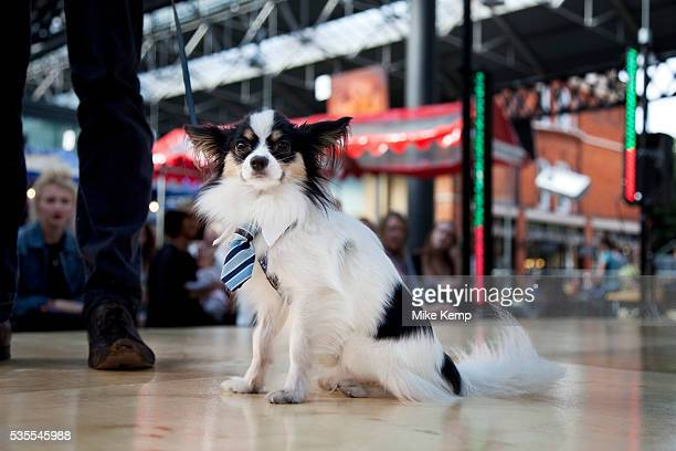 Colin the Papillion in his business collar and tie at Paw Pageant dog show at Spitalfields Market London Local people enter their dogs into the...