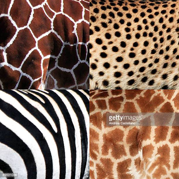 Collage of giraffe and zebra and cheetah patterns