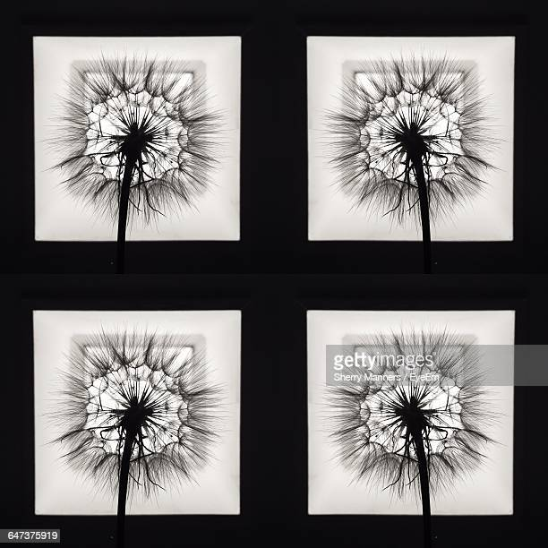 collage of silhouette dandelions - transferbild stock-fotos und bilder