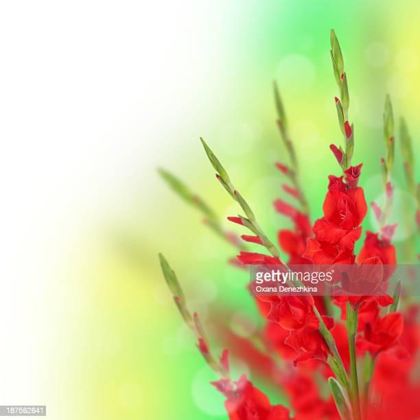 collage with red gladiolus - グラジオラス ストックフォトと画像