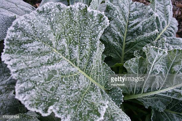 Collards With Frost